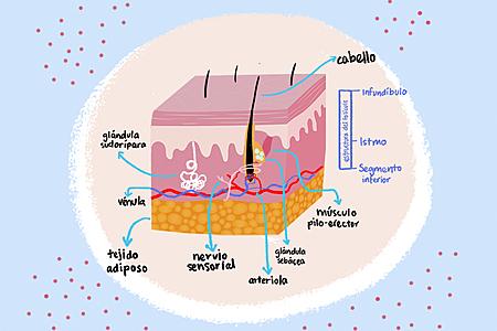 Anatomía del cabello: elementos que conforman el cabello y fases de crecimiento.